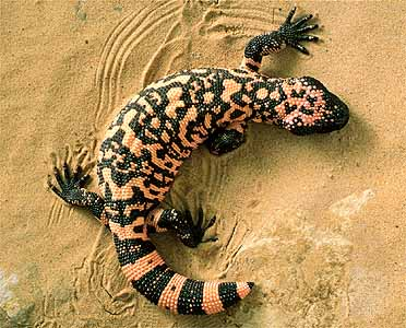 غول گیلا : Gila monster